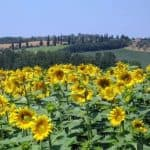 Sunflowers, Tuscany 2009