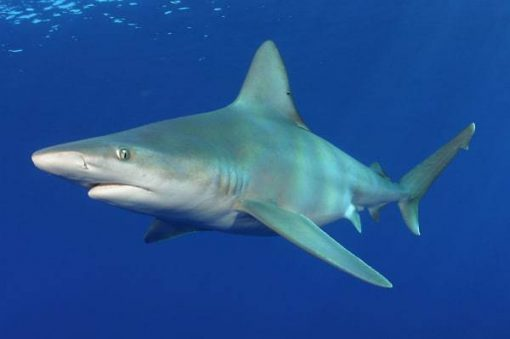 sandbar shark, Carcharhinus plumbeus, North Shore, Oahu, Hawaii, Pacific Ocean