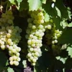 grapes hanging on vine