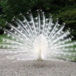 Photo Friday:  White Peacock on Isola Madre