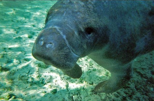 ... The Crystal River/Kings Bay Area Of Florida Becomes The Winter Home Of  Nearly 400 West Indian Manatees. Manatees Prefer Slow Moving Rivers, ...