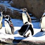 humboldt penguins at woodland park zoo seattle