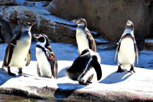 humboldt penguins at woodland park zoo seattle