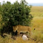 Glamping with Lions in the Serengeti