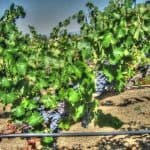 Cabernet Vines in Temecula