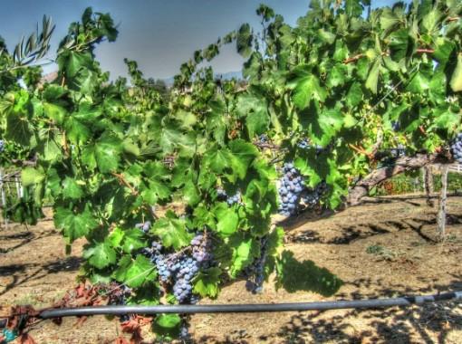 Cabernet Vines in Temecula