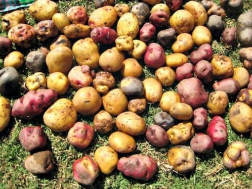 potatoes in peru