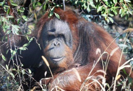 Knobi - International Orangutan Center