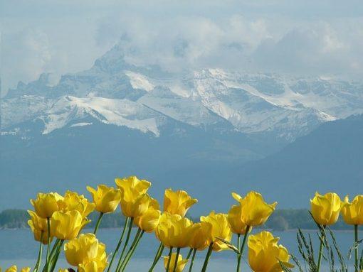 tulips-79667_640