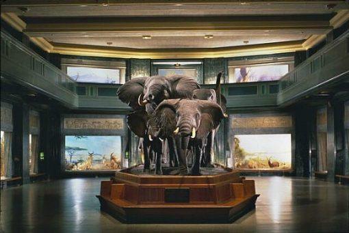AMNH elephants
