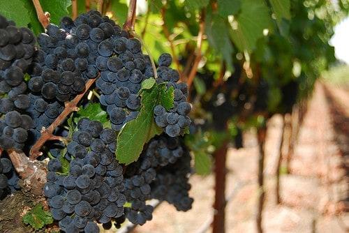sonoma vineyards photo
