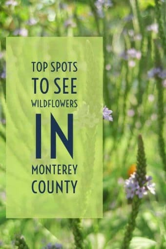 From the magic purple carpet to a canyon of calla lilies, springtime is the perfect time to see spectacular, colorful displays of wildflowers throughout Monterey County, California.
