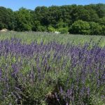 Lavender By the Bay, Long Island NY
