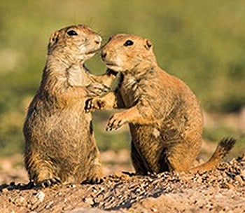 prairie dogs (Courtesy of City of Lubbock)
