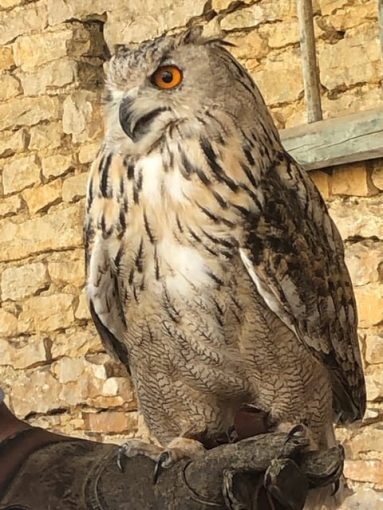 Owl at falconry demonstration in Commorin, France
