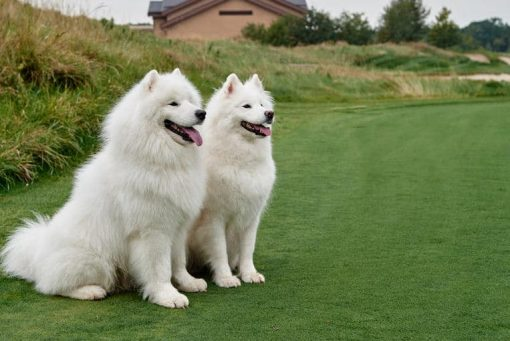 Some golf courses allow dogs on the course.